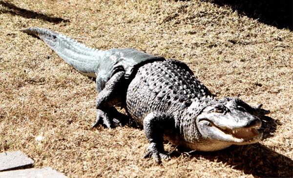 Alligator 3D printed tail